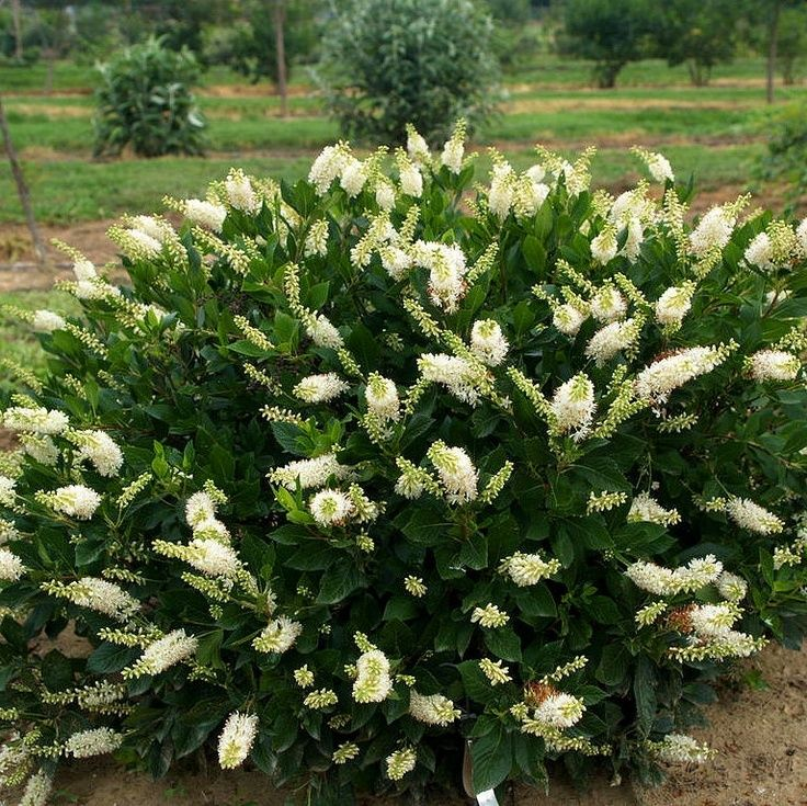 Clethra Alnifolia Hummingbird Summersweet Is An