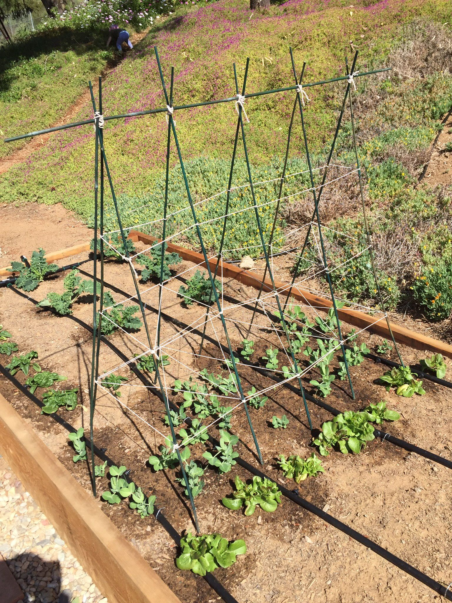 Pea trellis using bamboo stakes and twine