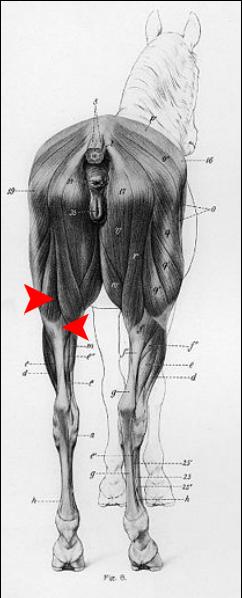 bear anatomy - Cerca con Google | caballos | Pinterest | Google ...