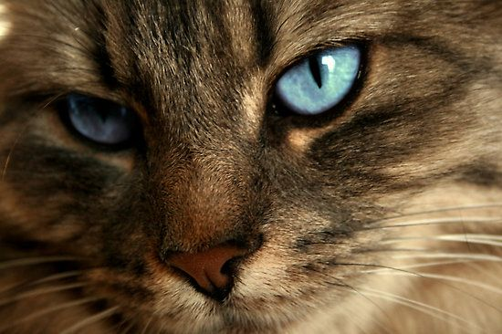 Image result for brown tabby cat with blue eyes