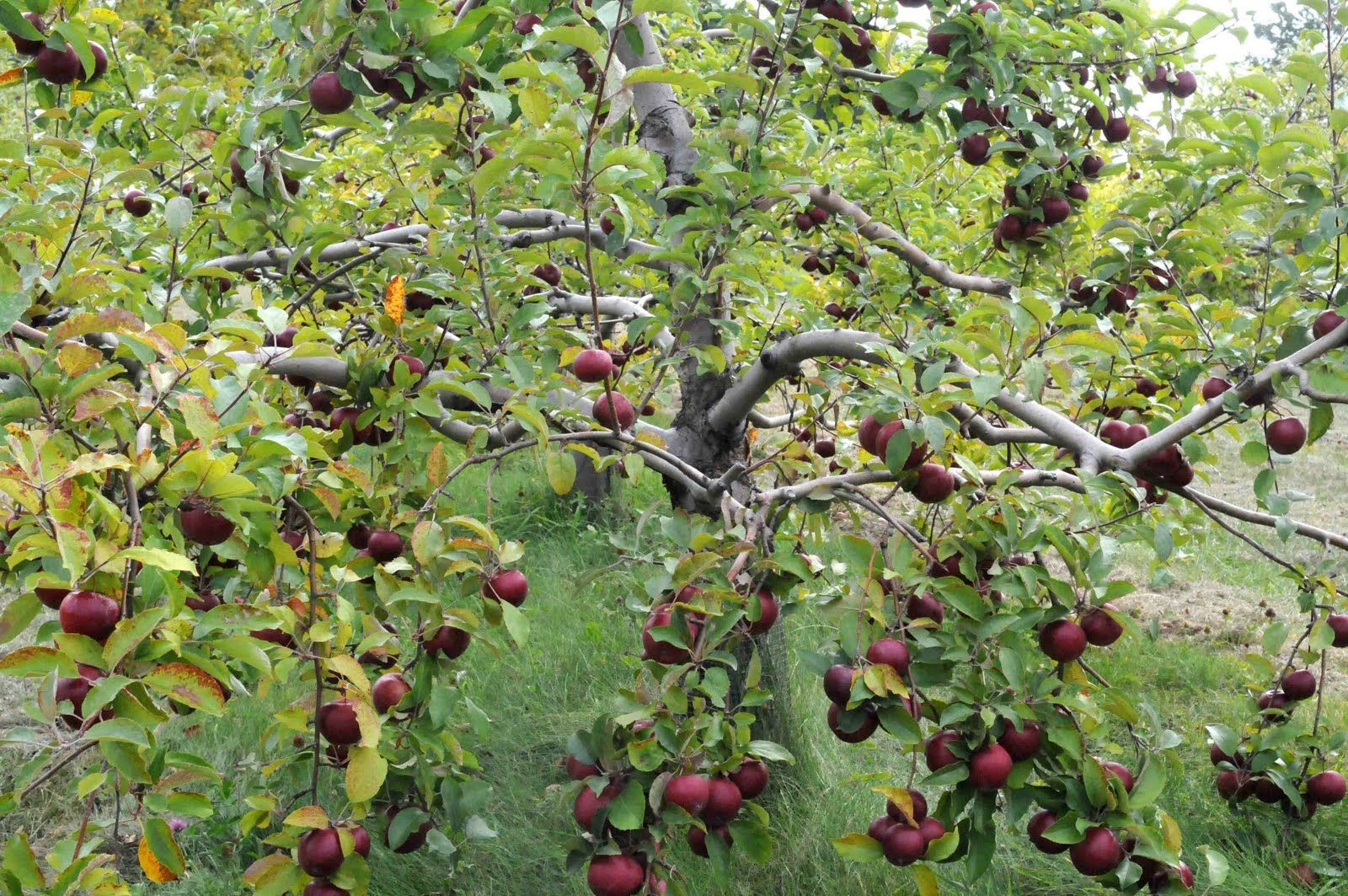 Permaculture apples