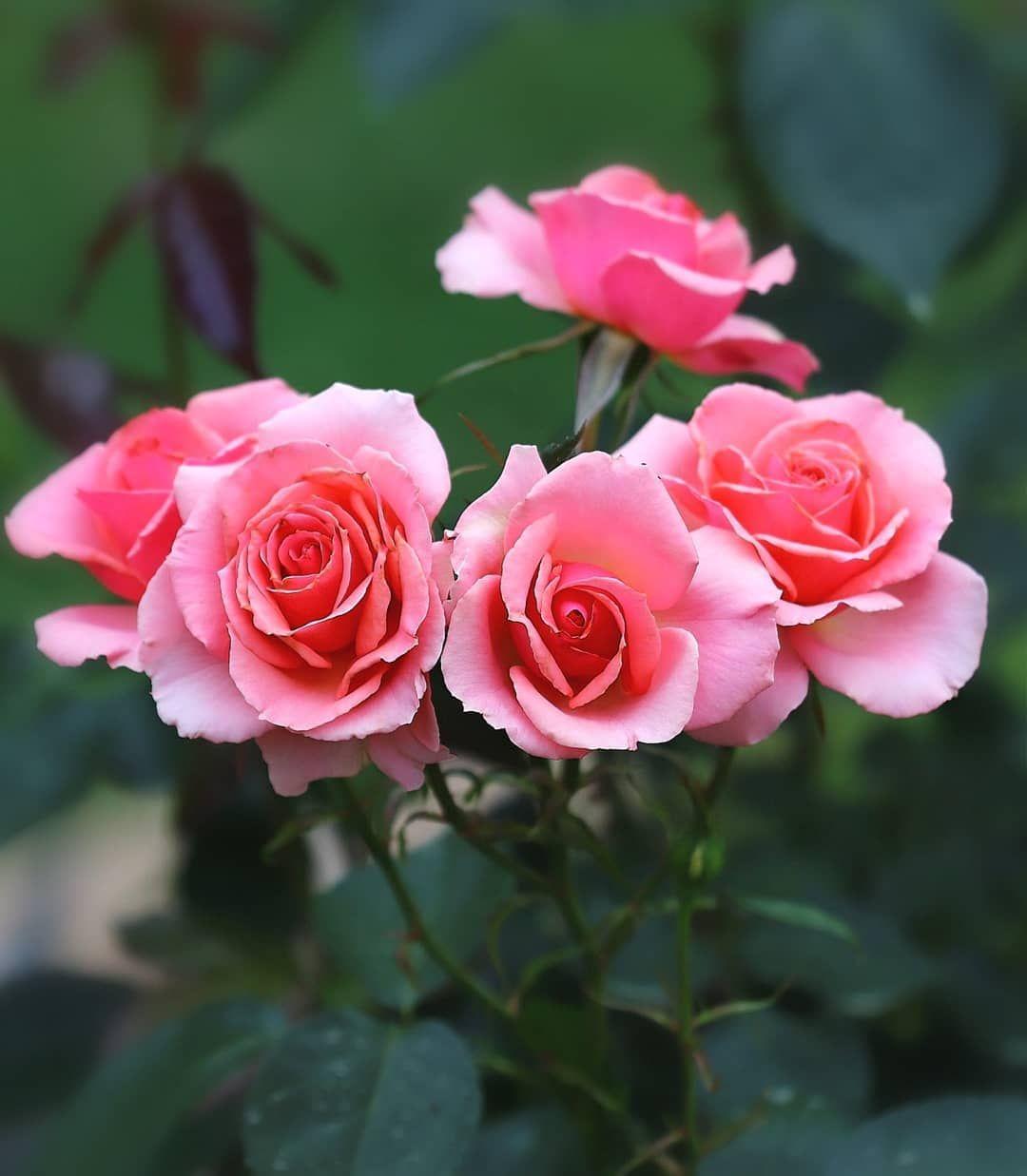 "Polubienia: 97, komentarze: 1 – meiko🦋風花🦋 (@meiko_fuuka) na Instagramie: "". #flowerpassion_world #flowers_collectio  #loves_united_flora #flower_igers #mta_flowers…"""