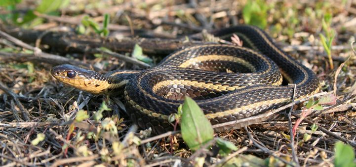 how to find snakes in ontario