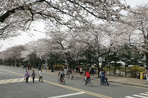 Cherry Blossom Tunnel At Hangang Park In Yeouido This Road Which Serves As Part Of The 4 9km 3 Mil Beautiful Castles Bike Trails Cherry Blossom Festival