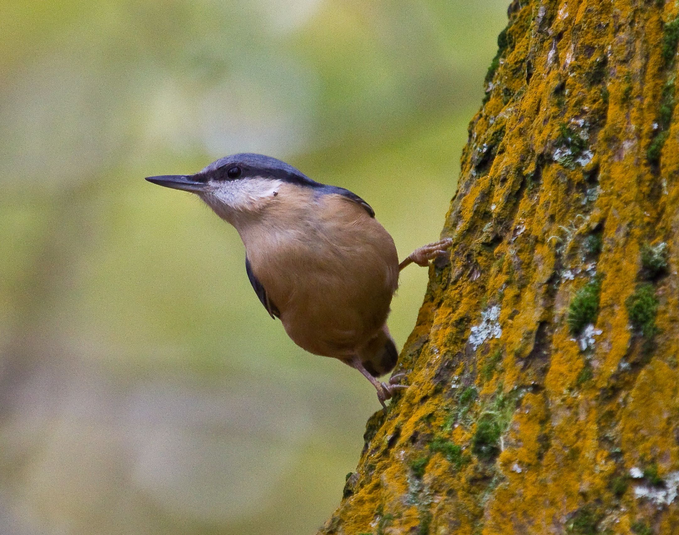 Parental Behaviour In Nuthatches