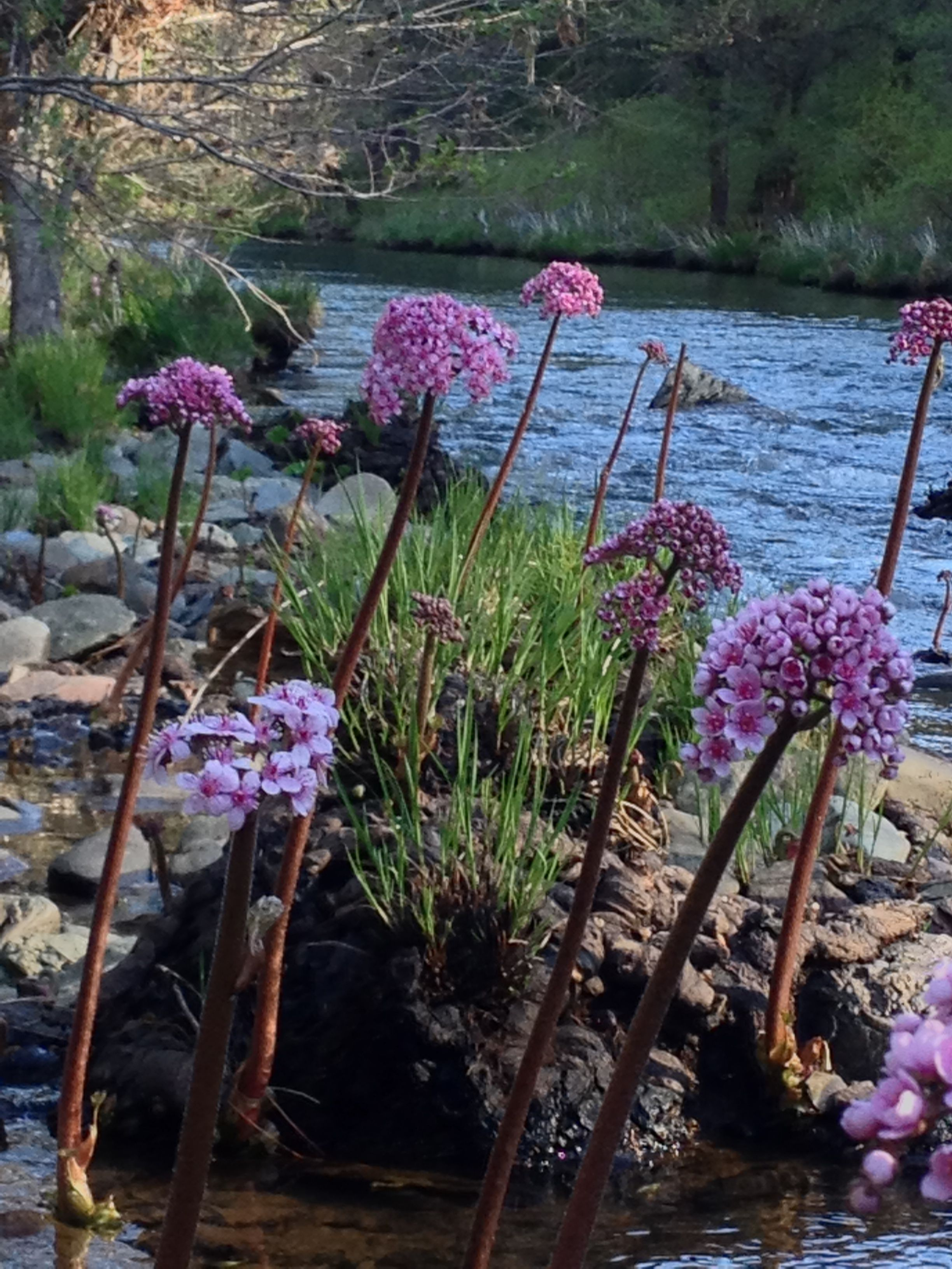 Extraordinary flowers on the Indian Rhubarb early spring and always around water.