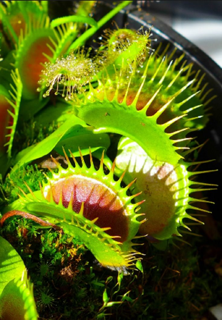 Carnivorous Plants Insect eating plants, Plants, Nature