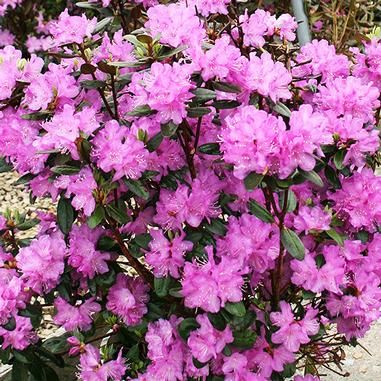 Rhododendron Pjm Rhododendron 3 4 Tall By 6 8 Wide Full