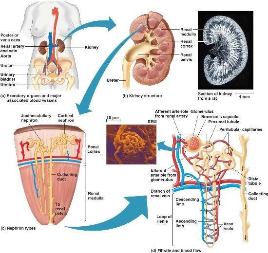Excretory System The Human Body Pinterest