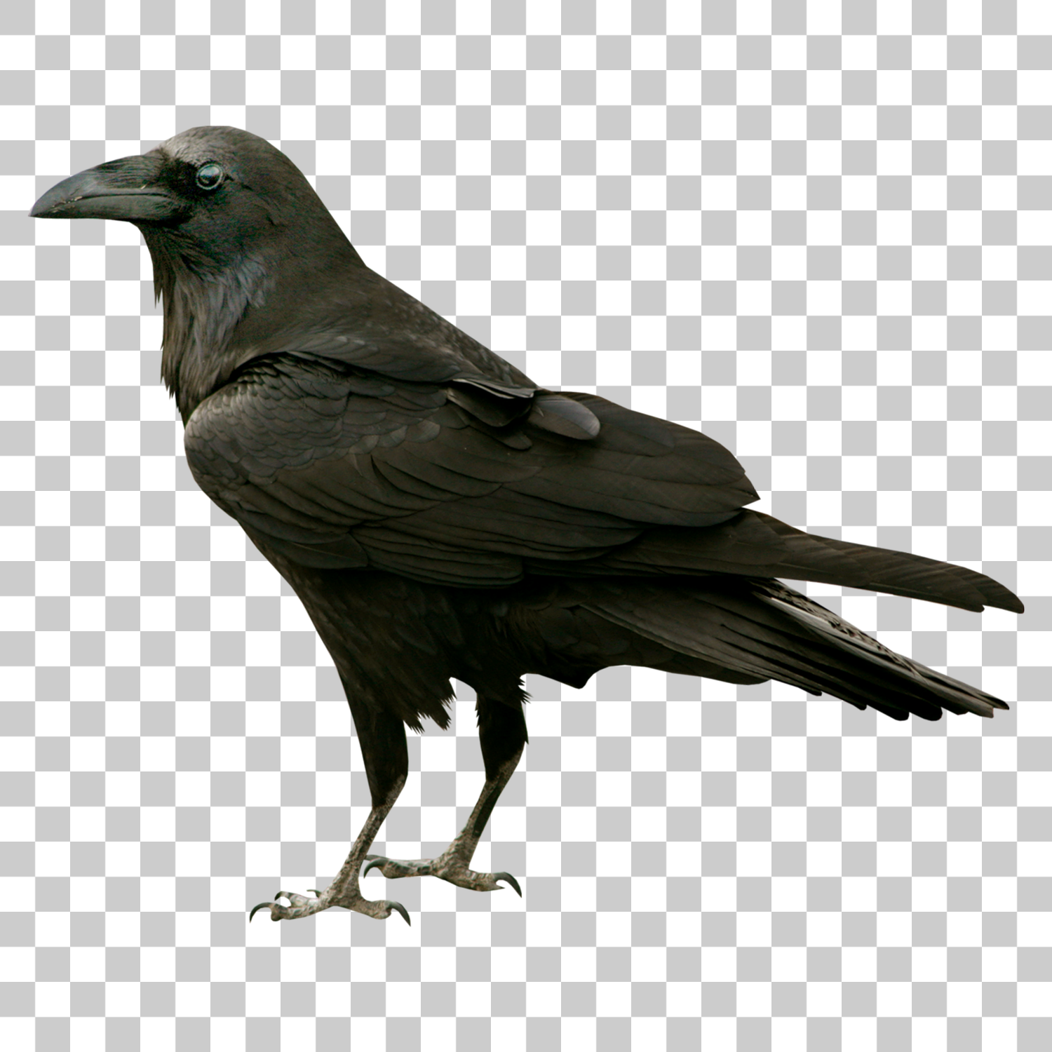 Crow Bird Png Image With Transparent Background Png Images Stock Images Free Image