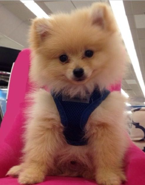 pomeranian outfits puppy harness for a handsome pomeranian chihuahua 4004