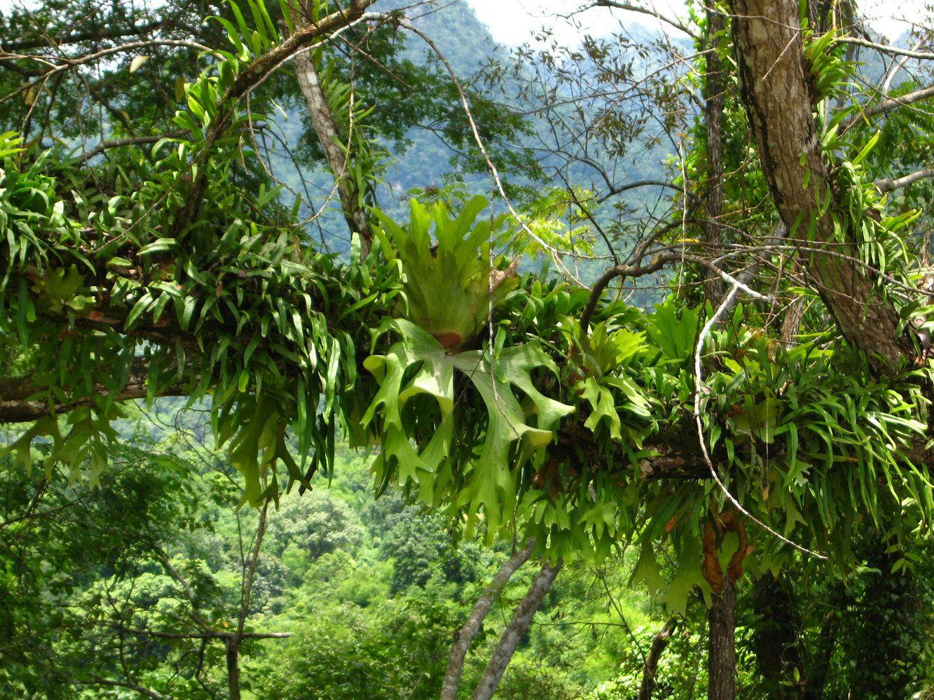 platycerium wallichii doi chiang dao naturstandorte On ungewöhnliche zimmerpflanzen