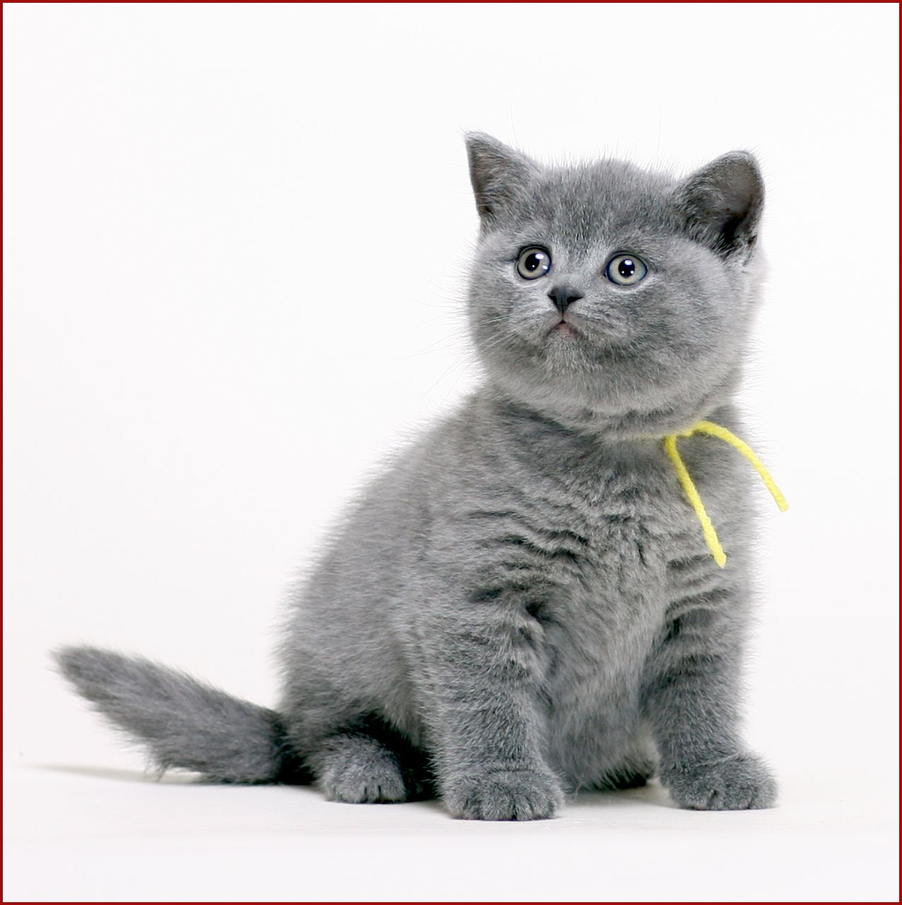 Britishbluecats What Is Available Pretty Cats Kittens Cutest