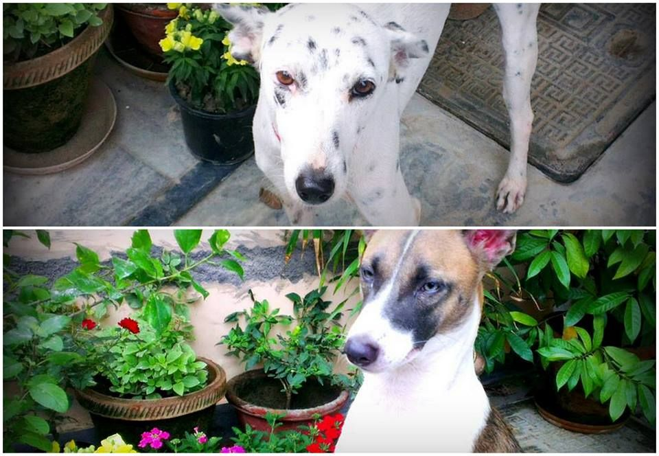 Two Beautiful Desi Dogs For Adoption In Delhi Ncr To Adopt Please Contact Email Pooja At Preciouspearl Pg Gmail Com Dog Adoption Homeless Dogs Adoption