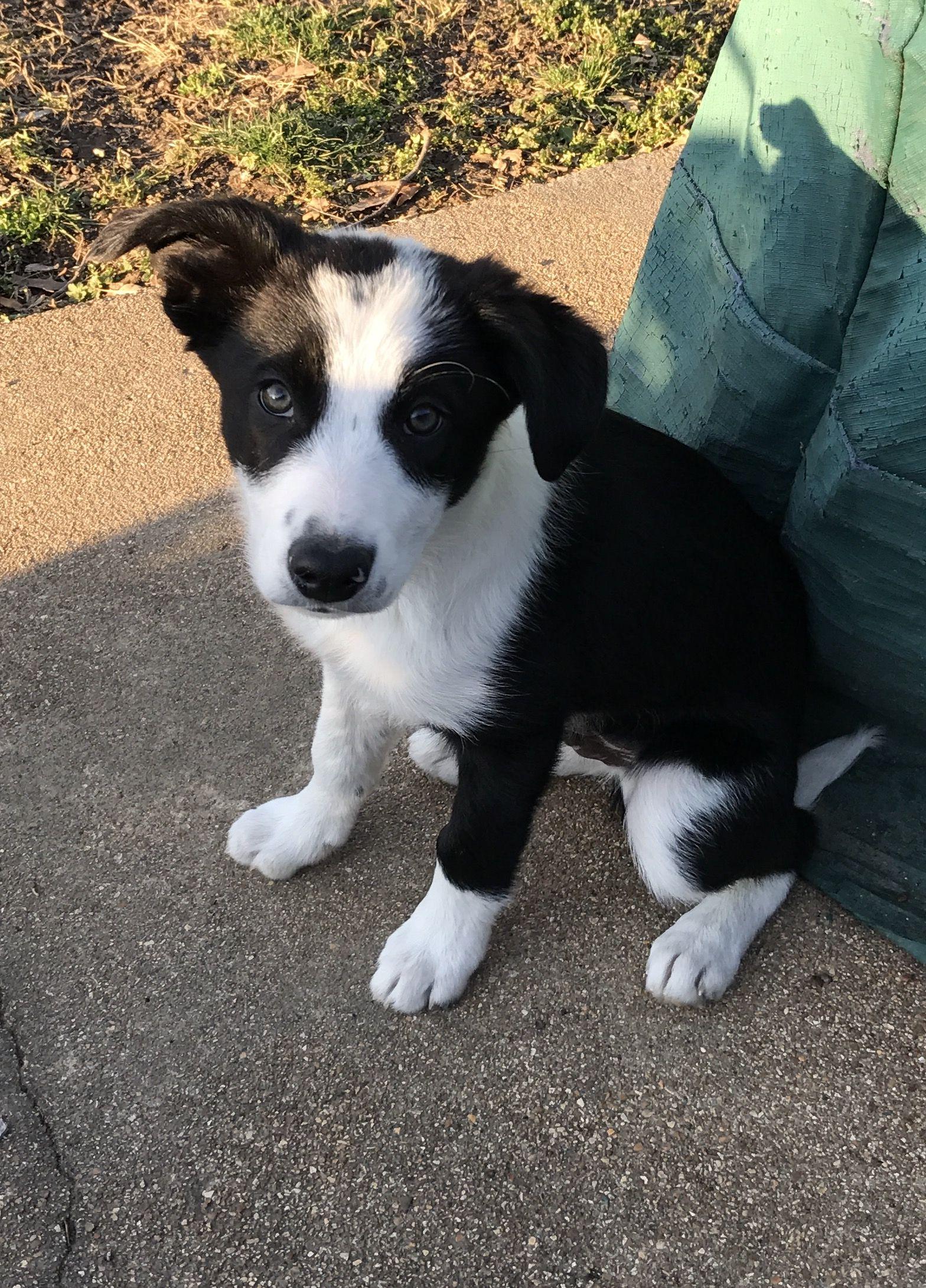Indy 3 Months Old Boston Terrier Border Collie Terrier