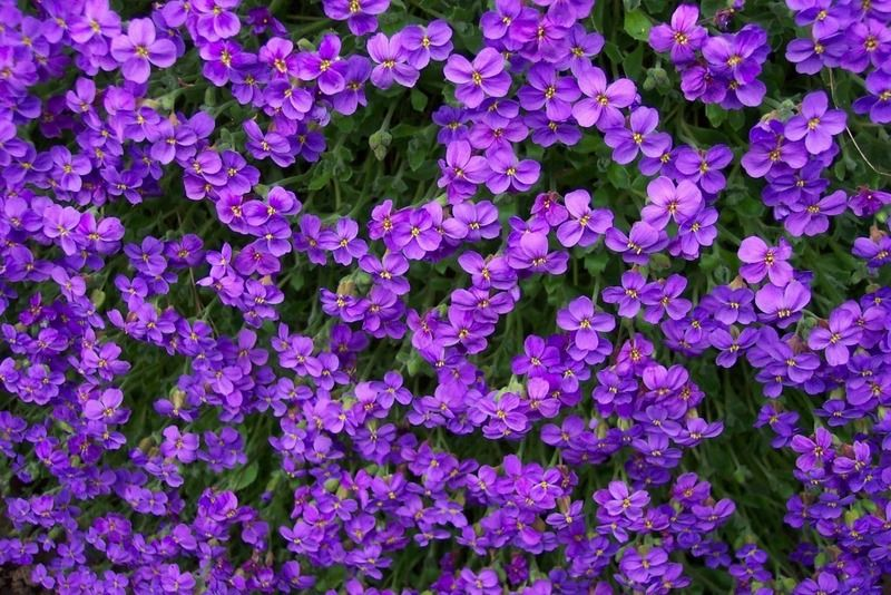 Lovely lady purple flowers the magical nature of flowers lovely lady purple flowers mightylinksfo Choice Image