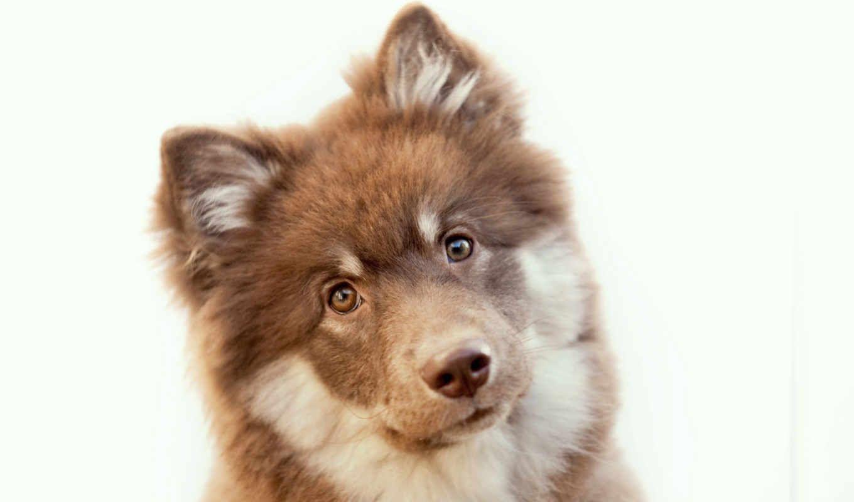 Обои Собака, Финский лаппхунд, морда. Собаки foto 19
