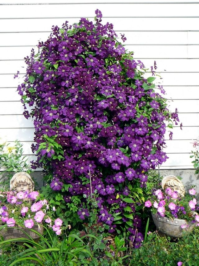 how to take a cutting from a clematis plant