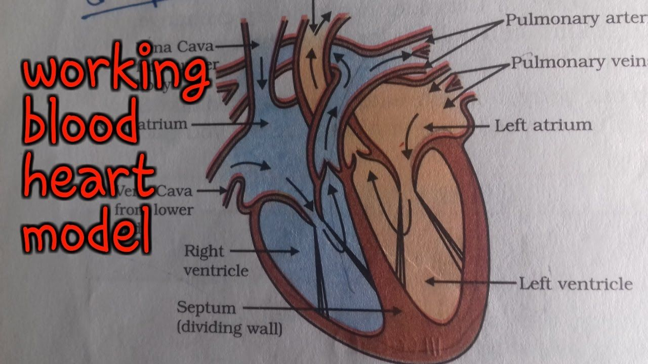 ✓working human heart | science model || 10th class working