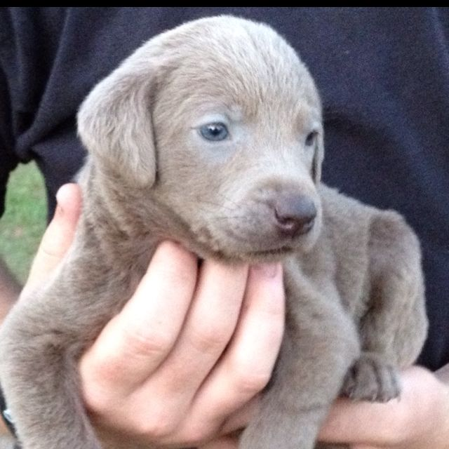 Silver Lab Puppies For Sale 862 258 4810 Hunde Familienhund Wesen
