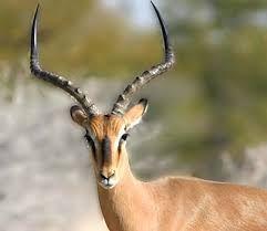 impala - Google Search