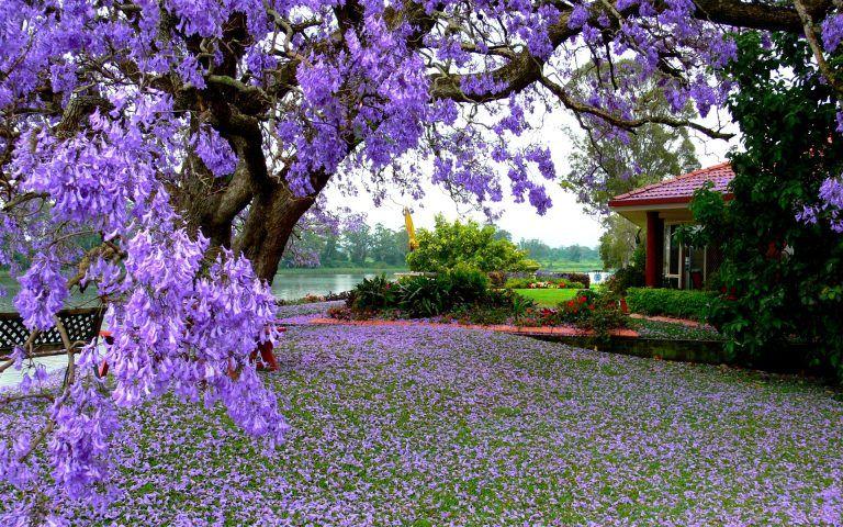 Spring Background Free Download Flowering Trees Beautiful Nature Spring Jacaranda Tree