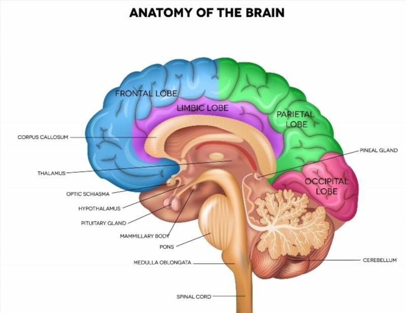 Human Brain Anatomy poster   Human brain anatomy, Brain anatomy and ...