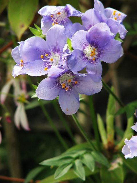 Polemonium Caeruleum Subsp Yezoense エゾノハナシノブ Pretty Flowers Lavender Flowers Flower Names