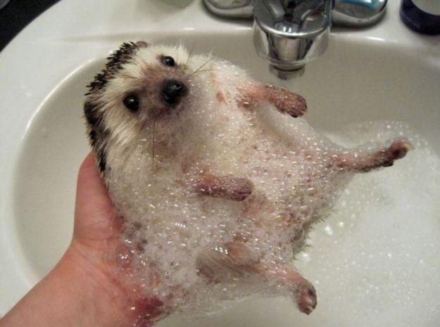 Bath time for hedgehog!