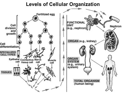2 Living Things Have Different Levels Of Organization Muscle System Cell Transport Life Science
