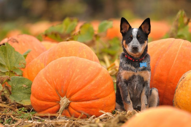 Dogs Pumpkin Autumn Halloween Wallpaper Background Dog Pumpkin