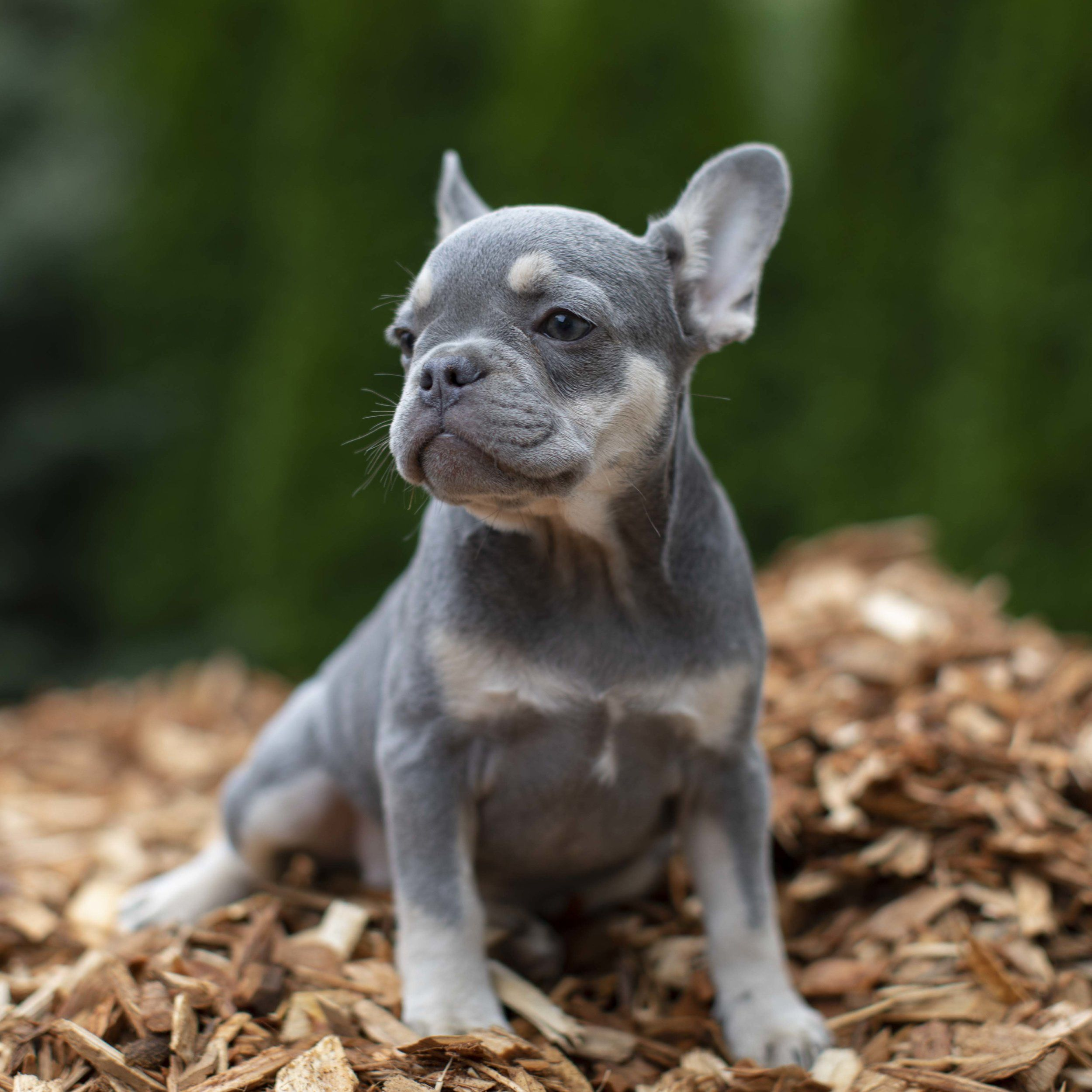 Reserved Lilac And Tan Female French Bulldog Puppy Looking For Her Forever Home In 2020 Bulldog Puppies French Bulldog Puppies French Bulldog Puppy