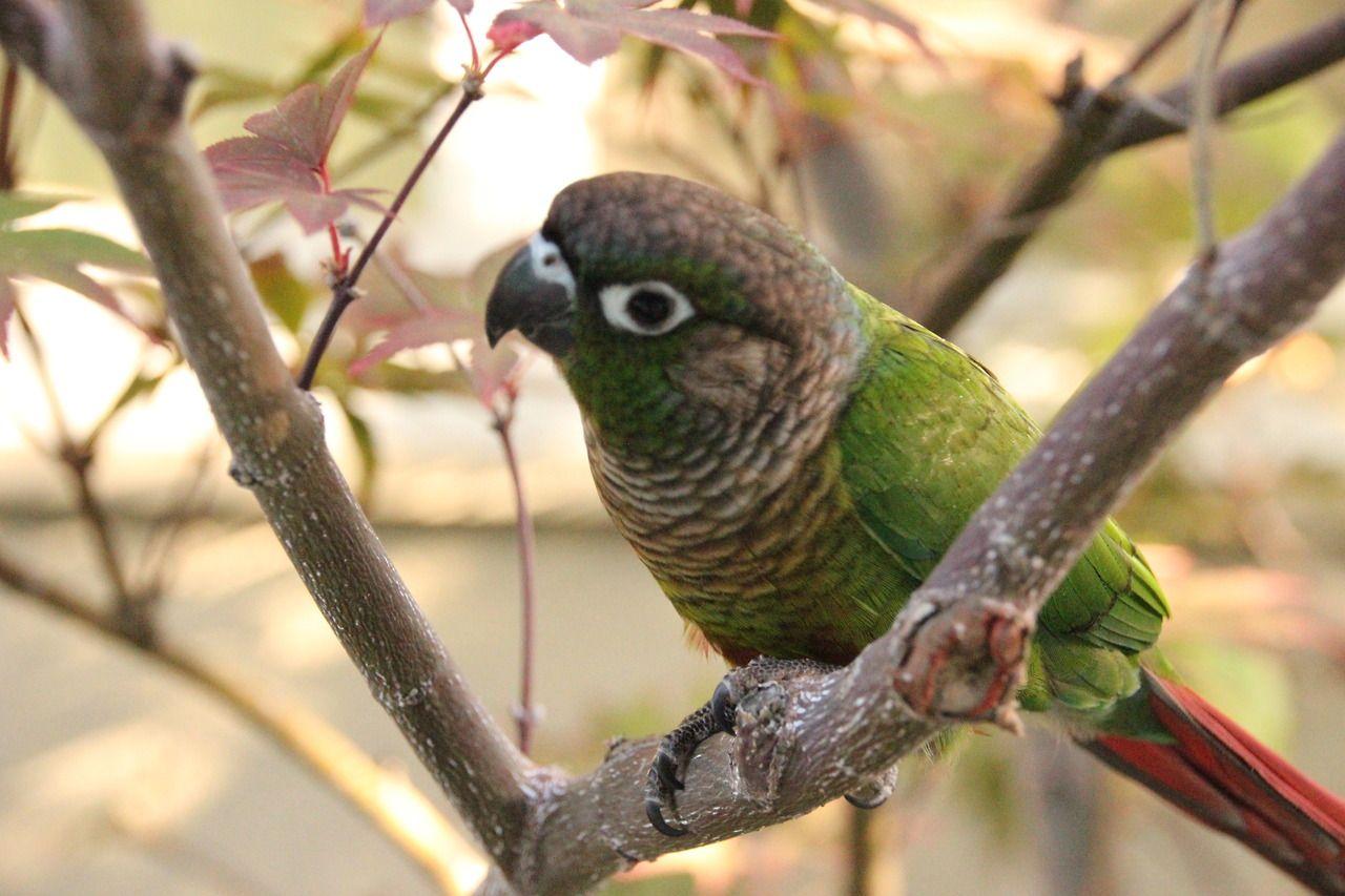 Spock the Green Cheeked Conure #greencheekconure #gcc #conure #birds