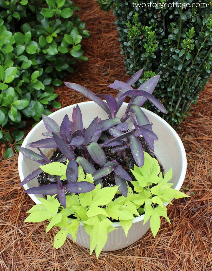 Easy Front Porch Flowers Front Porch Flowers Porch Flowers Potato Vines