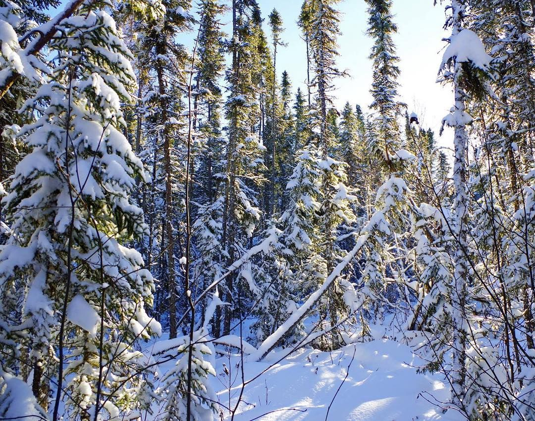 I Love The Evening Light On These Snowy Black Spruce Trees Outdoors Visitsunsetcountry Sunset Country Ontario Snow Bla Winter Beauty Outdoor Spruce Tree Sunset forest snow winter spruce trees