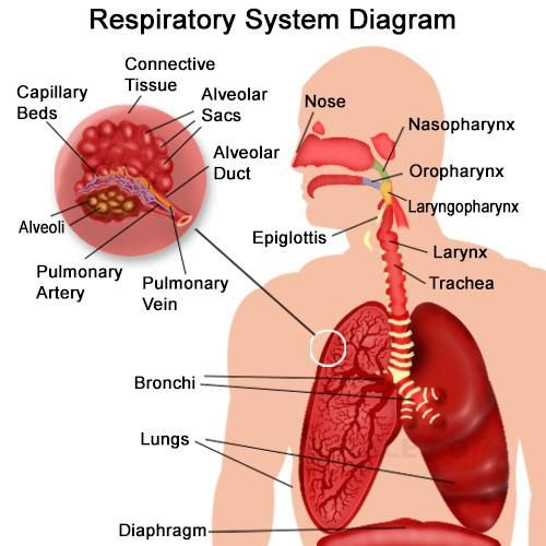 Organs Of The Respiratory System And Their Functioning Respiratory System Respiratory System Function Respiratory
