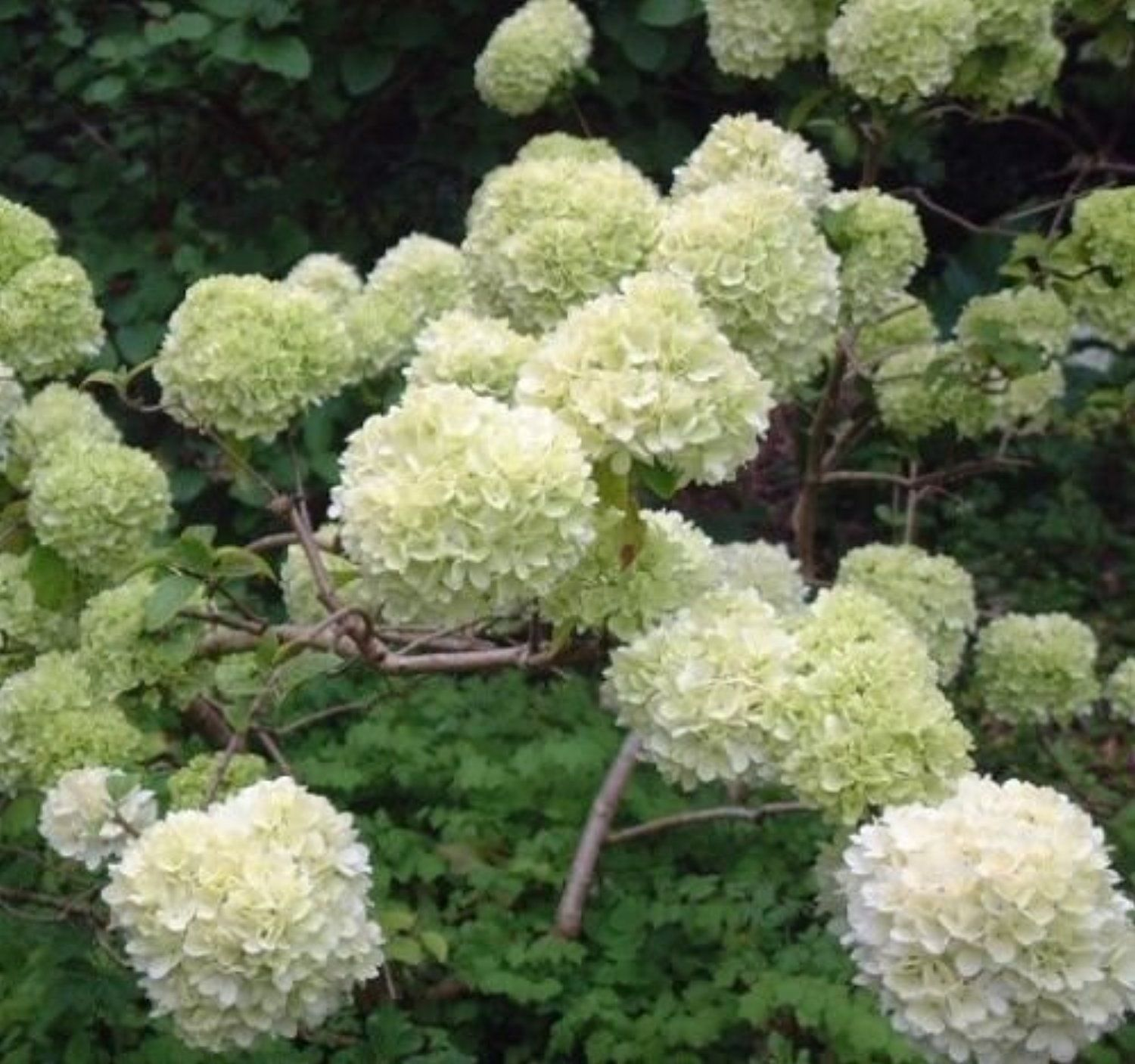 Chinese Snowball bush ( viburnum macrocephalum ) - Live Plant - Full Gallon Pot -- Awesome products selected by Anna Churchill