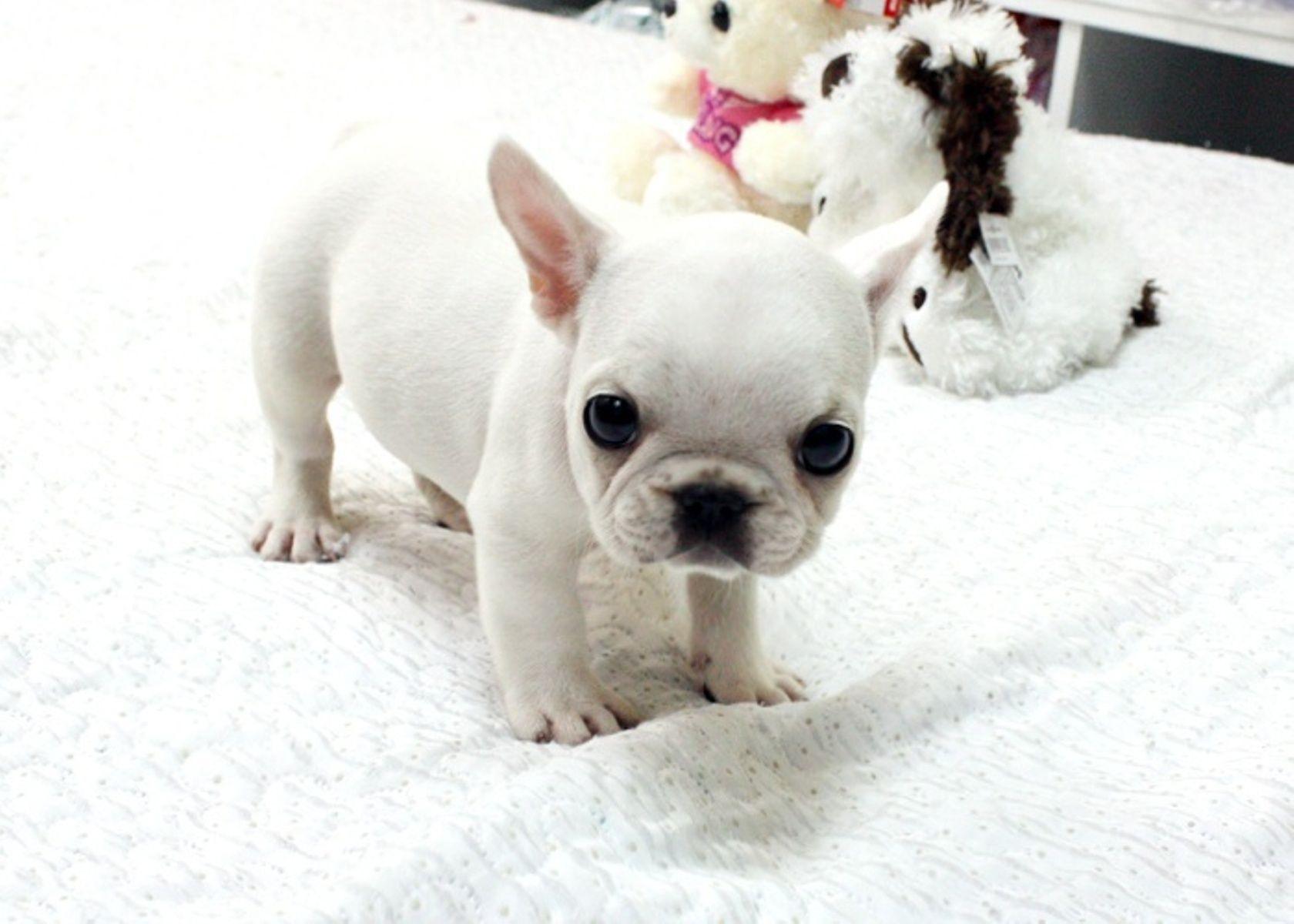 teacup french bulldog puppy | cuteness alert! | white french bulldog