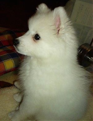 A White Anese Spitz Puppy Is Sitting