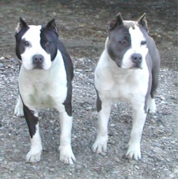 Introduction American Staffordshire Terrier Also Known As The