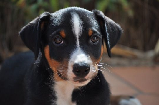 Appenzeller Sennenhund Dogsandpupsdaily Entlebucher Mountain Dog Swiss Mountain Dogs Every Dog Breed
