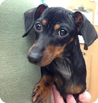 Dachshund Mix Dog for adoption in Spokane, Washington