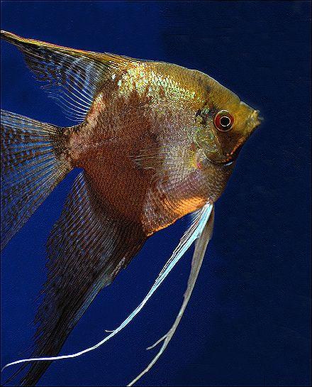 Leopard Veiltail Angelfish Freshwater Angelfish Pet Fish Angel Fish Tropical Freshwater Fish