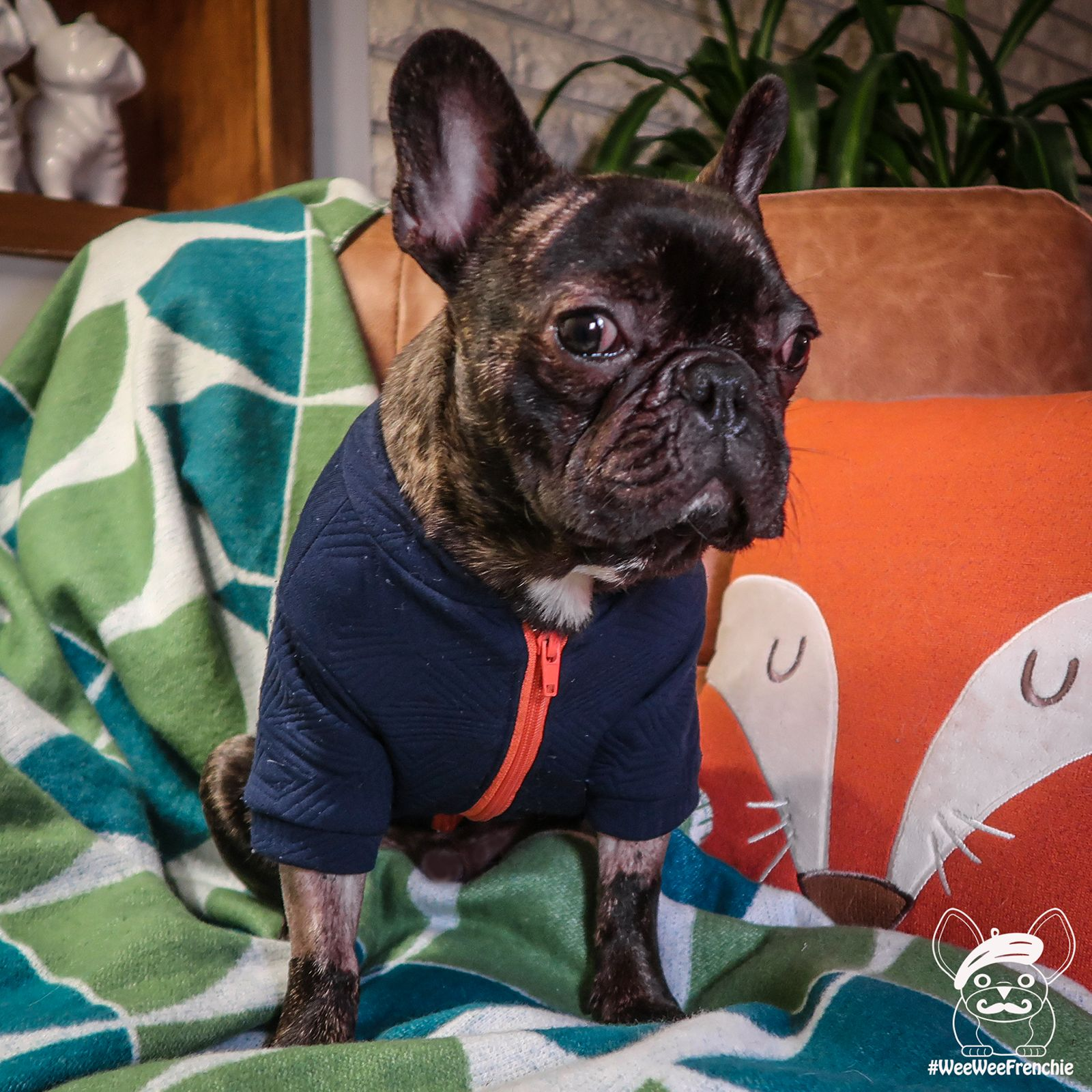 Black Friday And Cyber Monday Sales French Bulldog Fawn French