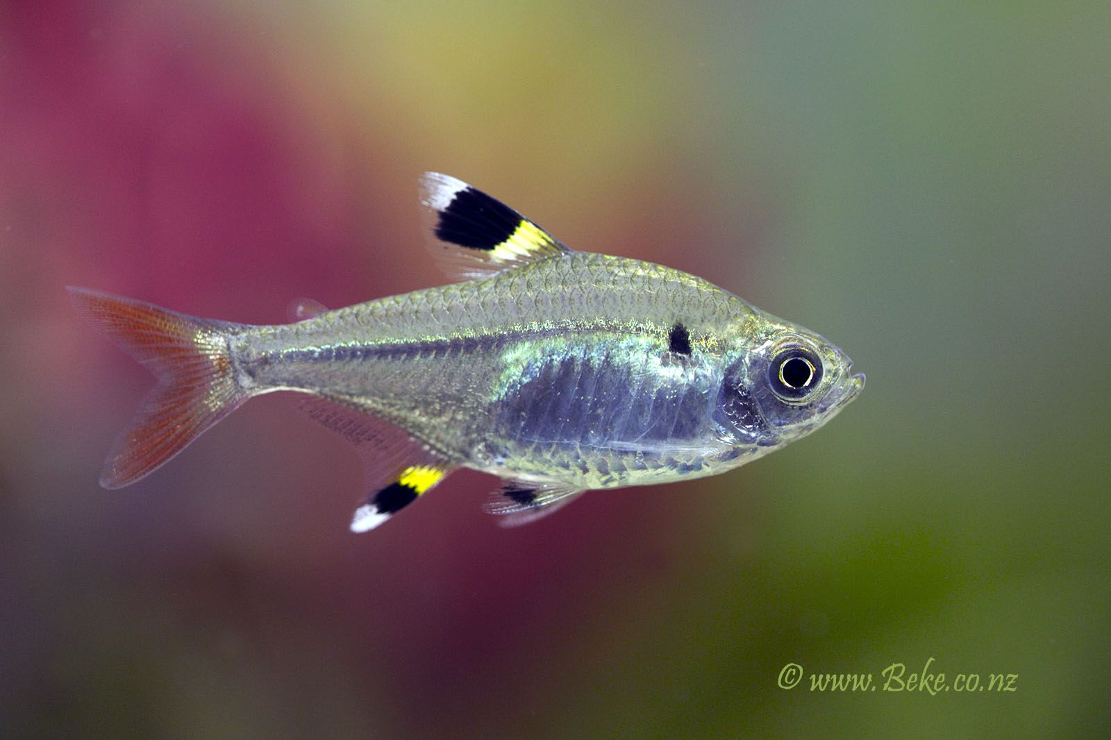 X Ray Pristella Tetra Tetra Fish Aquarium Fish Fish