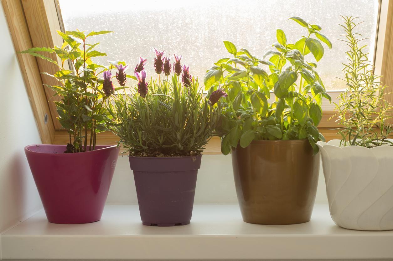 How to grow an indoor herb garden indoor lavender plant