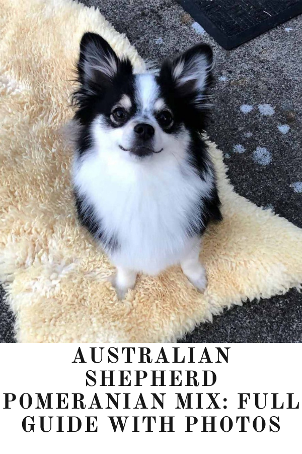 Australian Shepherd Pomeranian Mix A Full Guide Photos In 2020