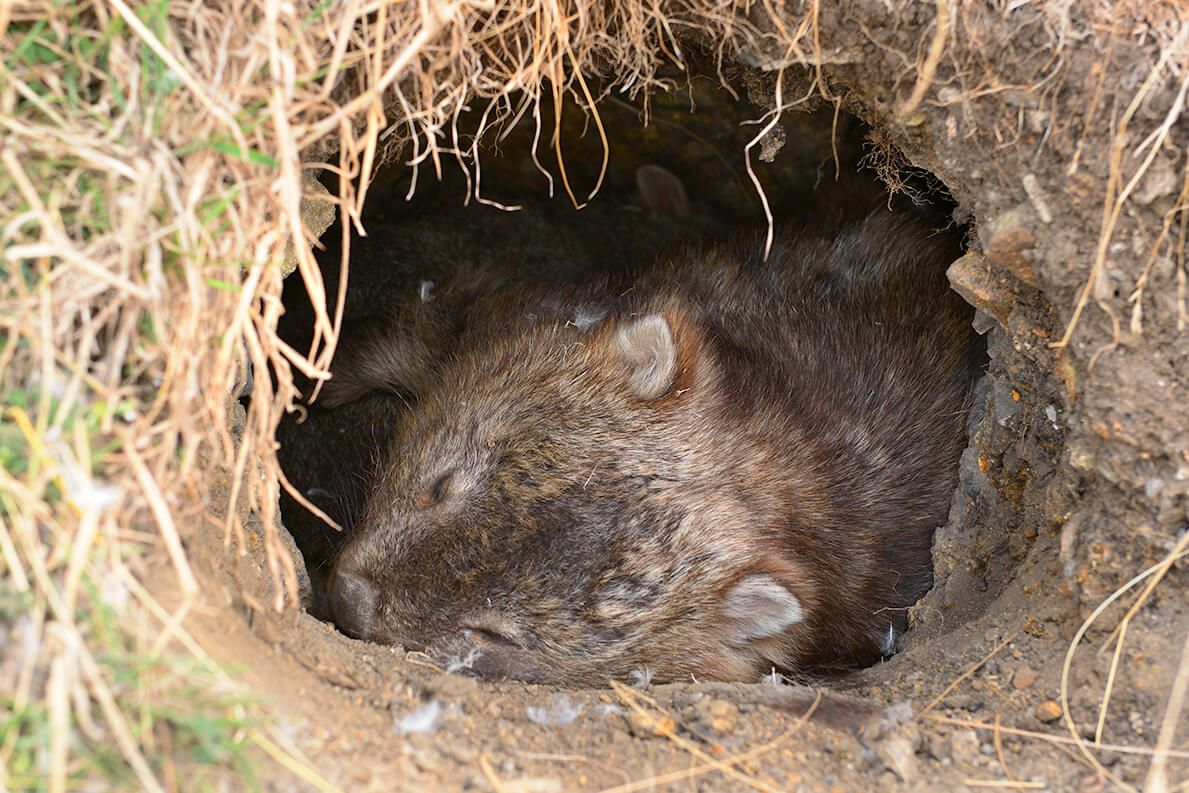 Wombats Make Their Homes In Dug Out Burrows
