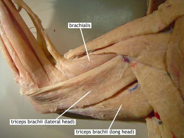 Cat Muscles Upper Body Dorsal Upper Arm Superficial Deep