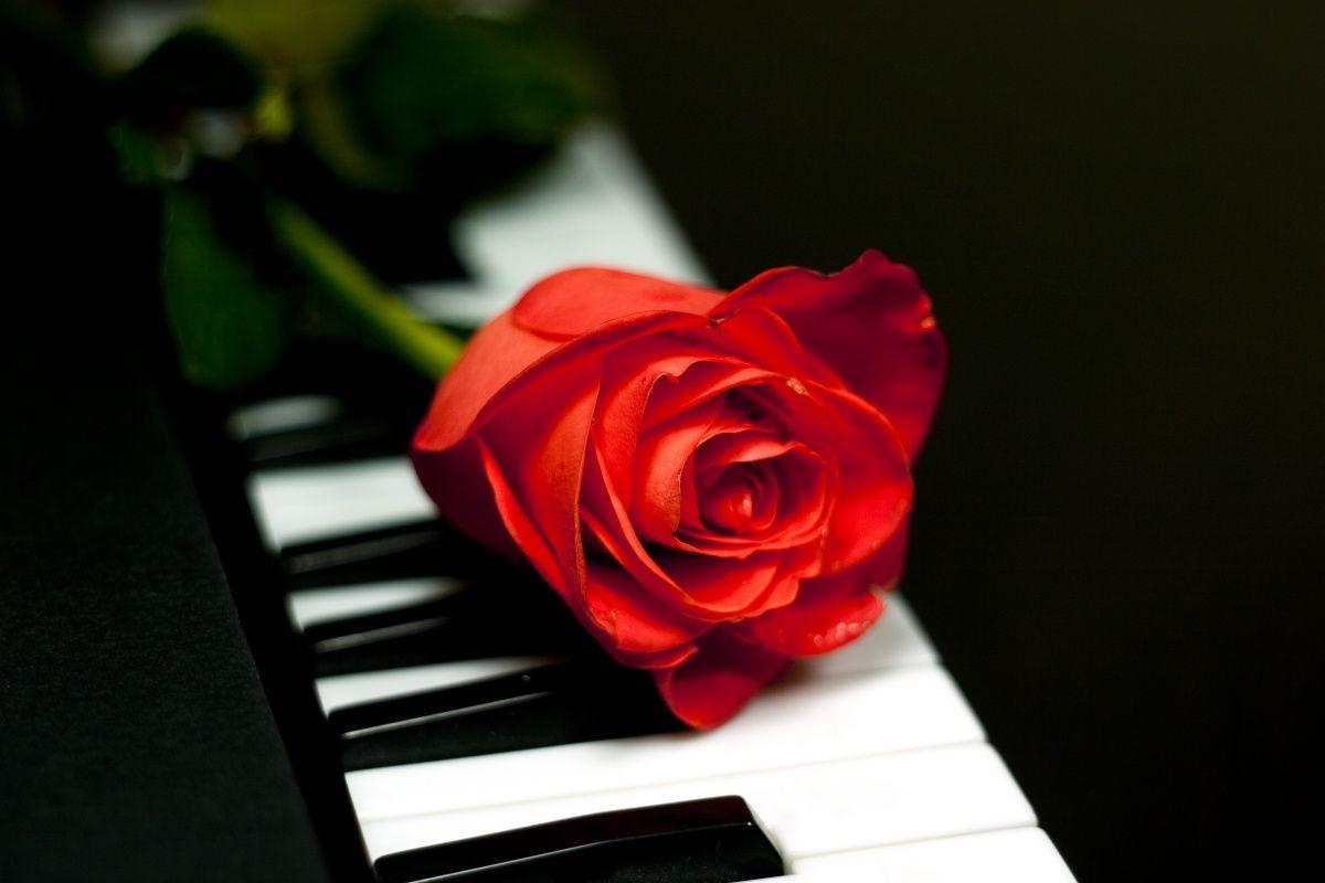 Rose Rouge Flowers Rose Beautiful Flowers